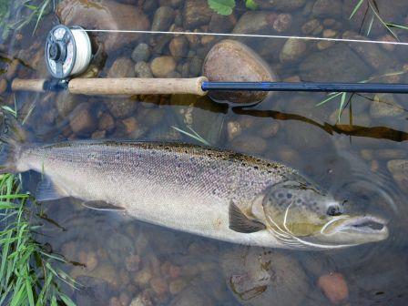 34 inch - 15 lbs Salmon - Dee Scotland