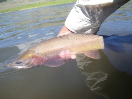 Cutthroat_52_cm_aval_Slough_Campground__8_.jpg